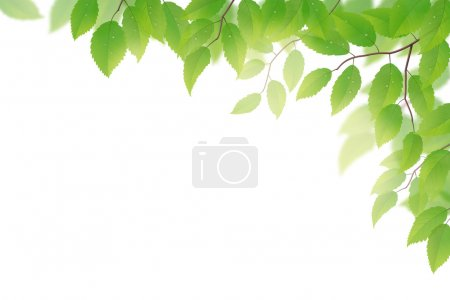 Illustration for Fresh green beech leaves on white background - Royalty Free Image