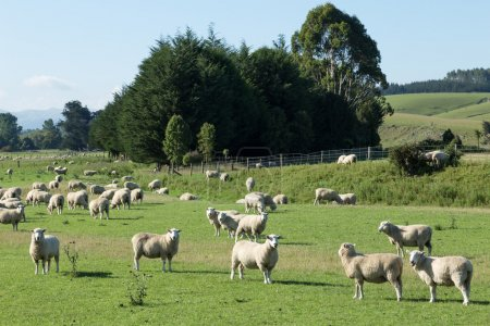 pasture with animals in New Zealand