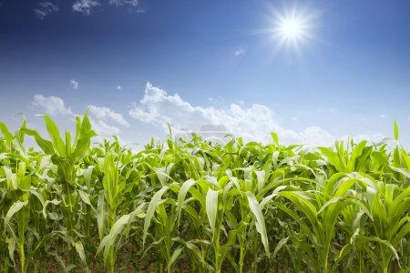 Campo de maíz en el día soleado