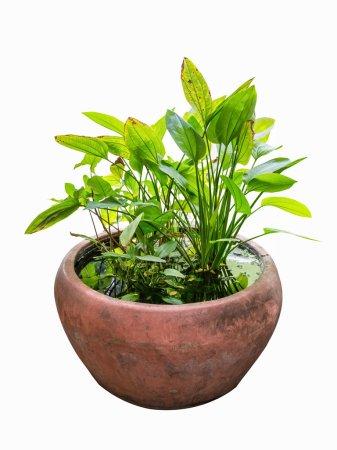 Foto de Planta verde hidropónica en el tanque de agua, plantas ornamentales tropicales - Imagen libre de derechos