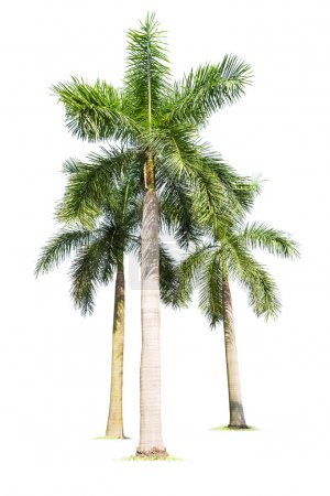 Photo for Three palm trees isolated on white  , king coconut - Royalty Free Image