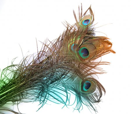 Beautiful peacock feather on white background with copy space