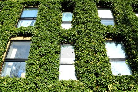 Windows with ivy
