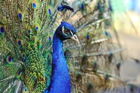Photo pour Paon sauvage sur l'île de Sri Lanka - image libre de droit