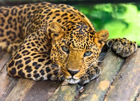 Photo for Wild Leopard in the tropical African savanna - Royalty Free Image