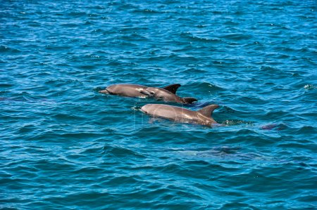 Dolphin Indian Ocean