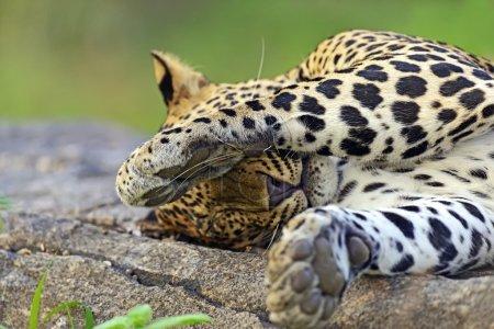 Leopards of Sri Lanka