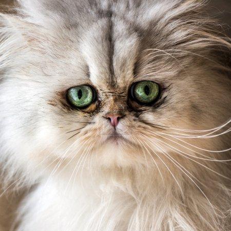 Photo pour Beau chat persan avec fourrure blanche et yeux bleu de gree - image libre de droit
