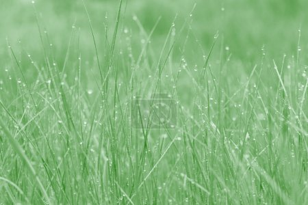 Photo for Close up of grass with dew drops - Royalty Free Image
