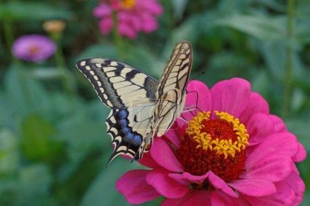 Photo pour Papilio Machaon papillon sur fleur de zinnia pourpre - image libre de droit