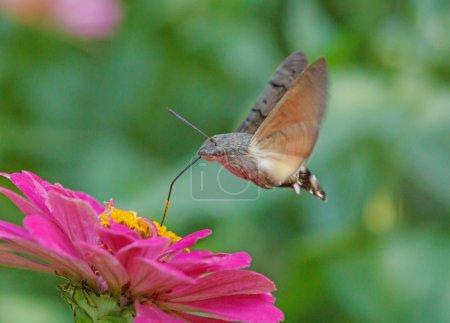Photo pour Teigne du faucon volant au-dessus de la fleur de zinnia pourpre - image libre de droit