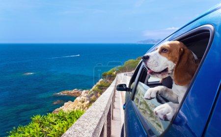 Beagle in a blue car