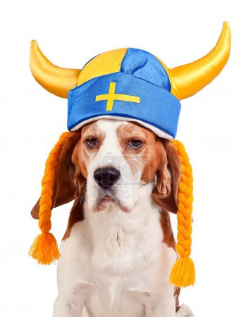 beagle in swedish hat , isolated on white
