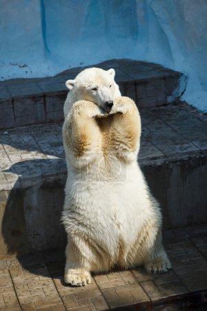 polar bear poses in a zoo