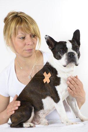 dog Boston Terrier at veterinarian