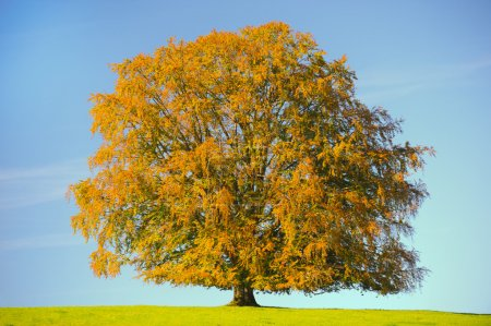 Photo for Single big old beech tree at autumn - Royalty Free Image