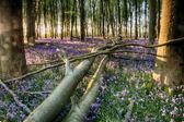 Fallen tree in bluebells