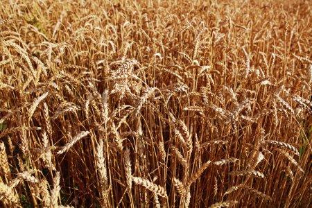 Photo pour Champ de blé jaune au jour ensoleillé, période de récolte - image libre de droit