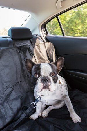 Dog traveling in the car