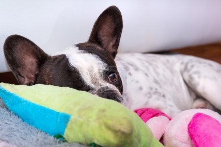 French bulldog puppy sleeping on the pillow