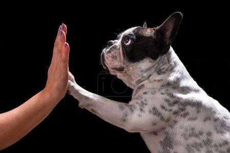 French bulldog giving high five
