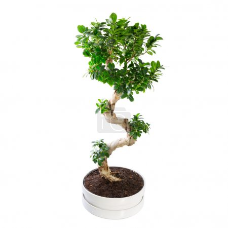 Photo for Ficus microcarpa ginseng tree isolated on white - Royalty Free Image