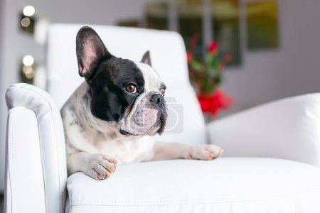 Photo pour Adorable bouledogue français couché sur le fauteuil - image libre de droit