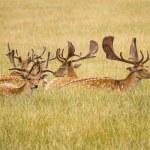 Herd Of Fallow Deer...