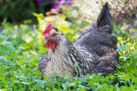 Photo for Chickens Laying hens on a grass outdoors day - Royalty Free Image