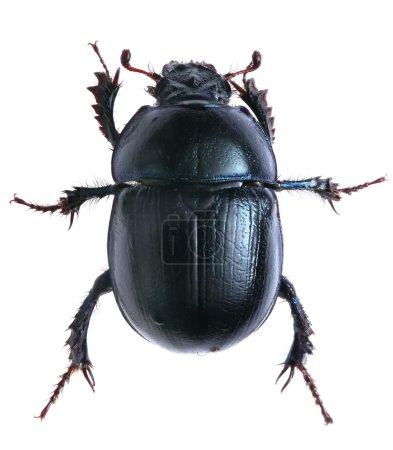black beetle isolated on white background. Macro.