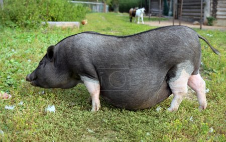 Black and white pregnant pig on free range farm. P...