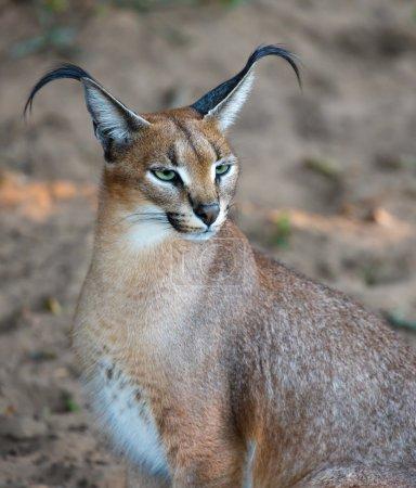 Photo pour Beau lynx caracal ou africain aux longues oreilles touffues - image libre de droit