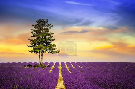 Photo for Lavender field in Provence, near Sault, France - Royalty Free Image