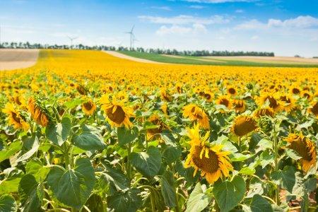 Bright Summer Sunflowers