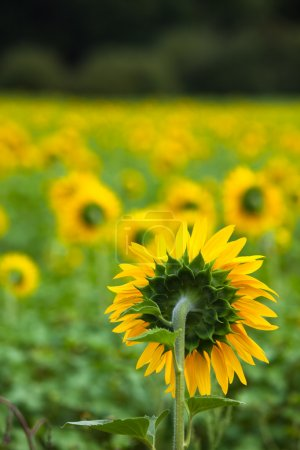 Photo pour Champ de tournesols à la campagne. Plan vertical - image libre de droit