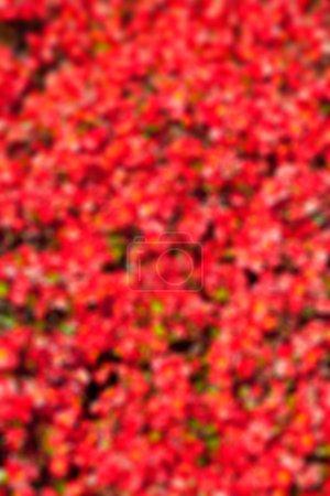 Defocused Natural Red Flowers