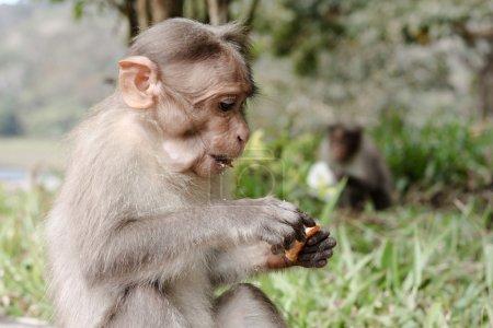 Photo pour Singe drôle dans Peruyar Wildlife sanctuary, Kerala, Inde - image libre de droit