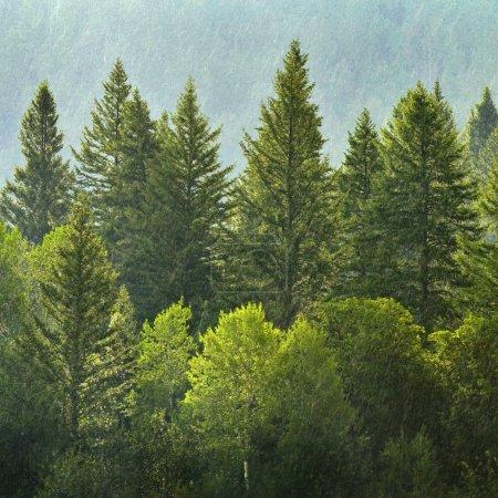 Photo pour Forrest des pins verts sur le flanc de la montagne avec la pluie - image libre de droit