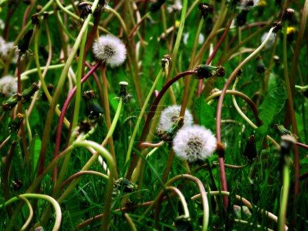Dandylion Weeds