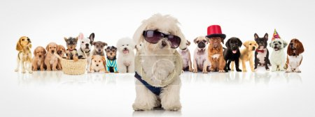 bichon wearing sunglasses sitting in front of dogs