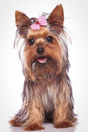 happy yorkshire terrier puppy dog sitting