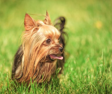 yorkshire terrier puppy dog with tongue out looking to its side