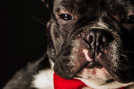 French bulldog puppy dog wearing bowtie looking like a boss