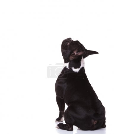back view of a seated  french bulldog puppy looking up