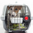 Young dog jack russel terrier in plastic carrier r...
