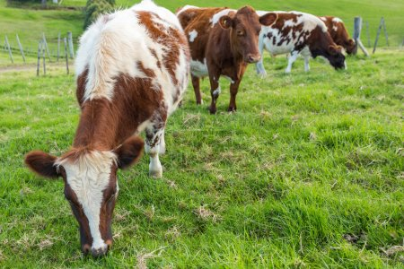 Brown Cows Eating Grass