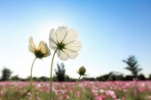 White cosmos flowers blossoming on sky background