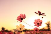 Cosmos Flower on sunset background