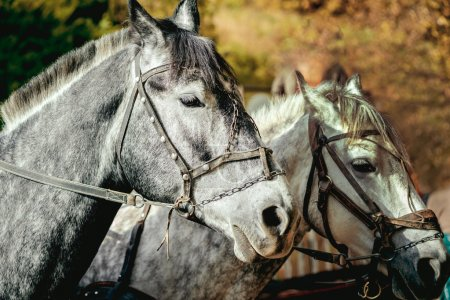 two grey horses