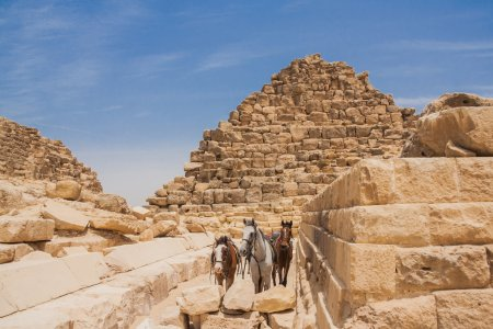 Three horses and pyramids of Giza in Egypt...